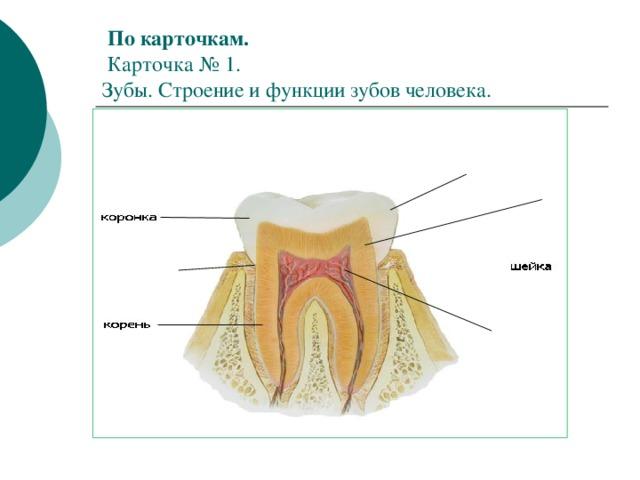 По карточкам.   Карточка № 1.  Зубы. Строение и функции зубов человека.