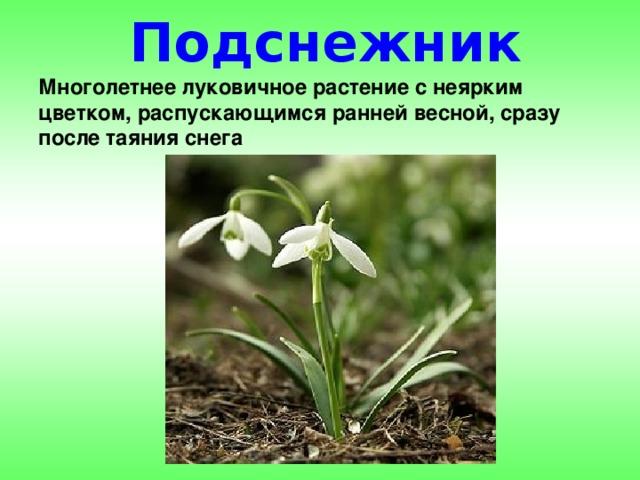 Подснежник Многолетнее луковичное растение с неярким цветком, распускающимся ранней весной, сразу после таяния снега