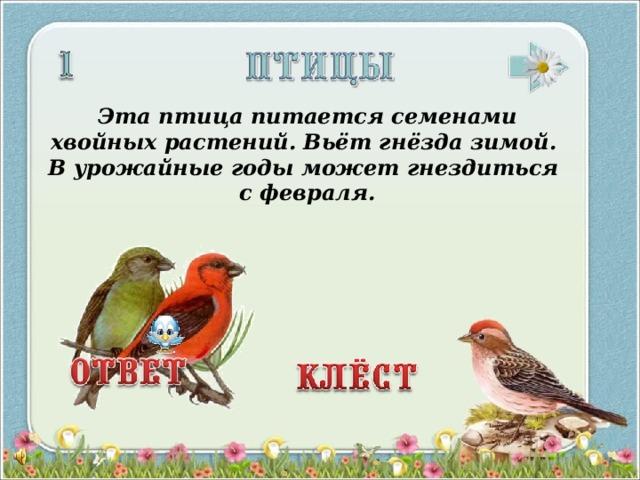 Эта птица питается семенами хвойных растений. Вьёт гнёзда зимой. В урожайные годы может гнездиться с февраля.