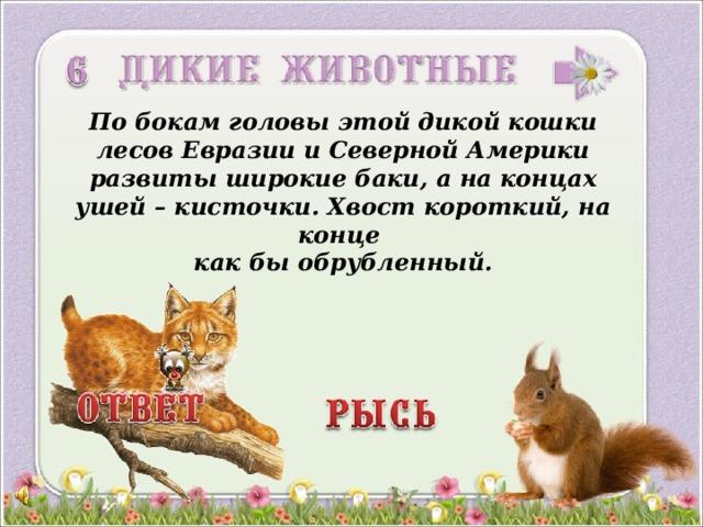 По бокам головы этой дикой кошки лесов Евразии и Северной Америки развиты широкие баки, а на концах ушей – кисточки. Хвост короткий, на конце как бы обрубленный. 3