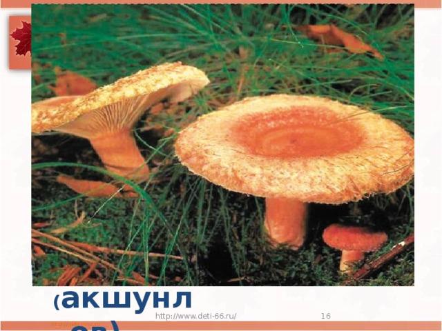 В шляпе розовой, мохнатой,  Но не выглядит растяпой.  Будто плюшевое ушко,  Для соления ... ( акшунлов) http://www.deti-66.ru/