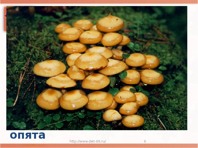 Нет грибов дружней, чем эти,  Знают взрослые и дети.  На пеньках растут в лесу,  Как веснушки на носу. опята http://www.deti-66.ru/