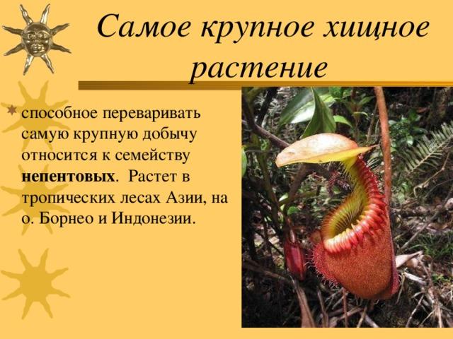 Самое крупное хищное растение
