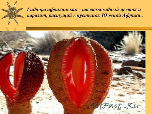Гиднора африканская - насекомоядный цветок и паразит, растущий в пустынях Южной Африки..
