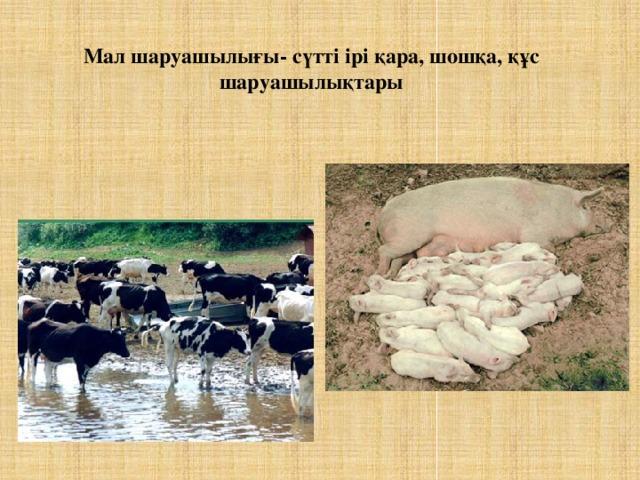 Мал шаруашылығы- сүтті ірі қара, шошқа, құс шаруашылықтары