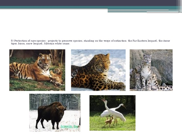 5) Protection of rare species - projects to preserve species, standing on the verge of extinction: the Far Eastern leopard, the Amur tiger, bison, snow leopard, Siberian white crane.