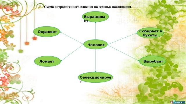 Схема антропогенного влияния на зеленые насаждения . Выращивает  Собирает в букеты Охраняет Человек Вырубает Ломает Селекционирует