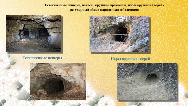 Естественные пещеры, навесы, крупные промоины, норы крупных зверей - регулярный обмен паразитами и болезнями Естественные пещеры Норы крупных зверей