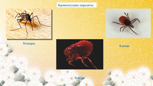 Кровососущие паразиты  Комары Клещи Блохи