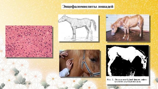 Энцефаломиелиты лошадей