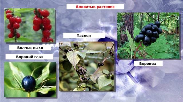 Ядовитые растения Паслен  Волчье лыко Вороний глаз Воронец