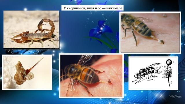 У скорпионов, пчел и ос — нажимало
