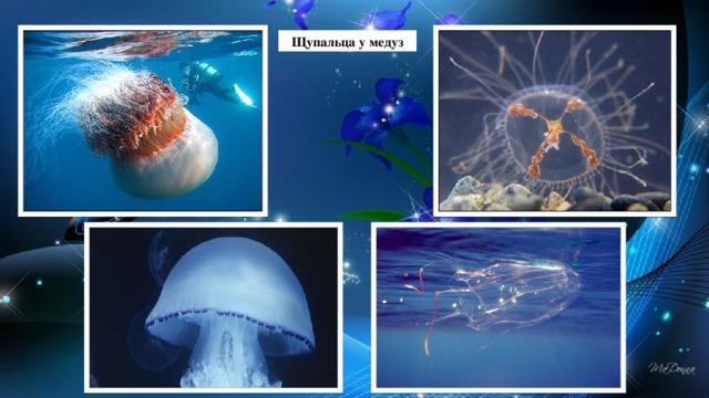 Щупальца у медуз