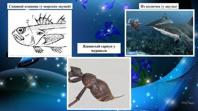 Спинной плавник (у морских окуней) Из колючек (у акулы) Ядовитый гарпун у муравьев