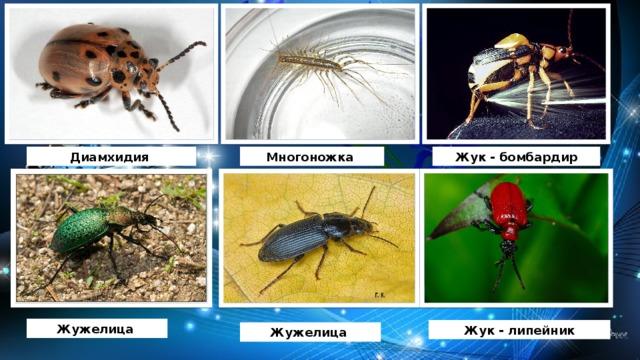 Диамхидия Многоножка Жук - бомбардир Жужелица Жук - липейник Жужелица