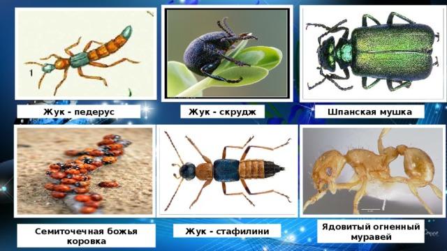 Жук - педерус Жук - скрудж Шпанская мушка Ядовитый огненный муравей Семиточечная божья коровка Жук - стафилини