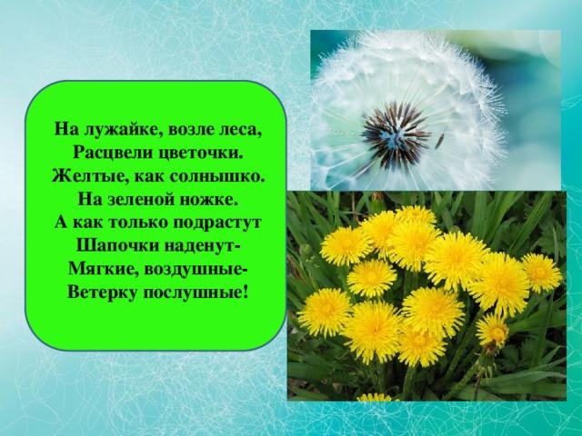 На лужайке, возле леса,  Расцвели цветочки.  Желтые, как солнышко.  На зеленой ножке.  А как только подрастут  Шапочки наденут-  Мягкие, воздушные-  Ветерку послушные!