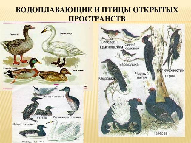 водоплавающей птицы картинки с названиями