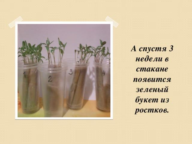 А спустя 3 недели в стакане появится зеленый букет из ростков.