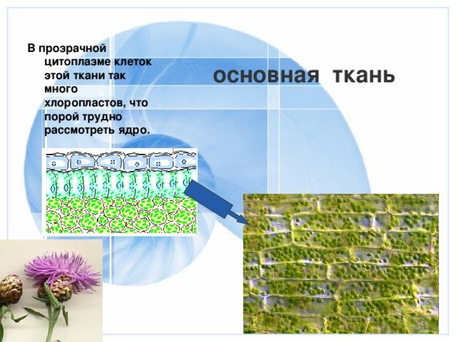 В прозрачной цитоплазме клеток этой ткани так много хлоропластов, что порой трудно рассмотреть ядро.  основная ткань