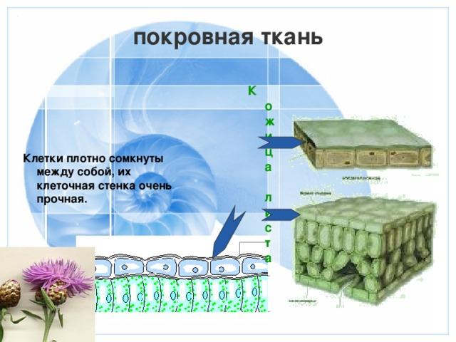покровная ткань Кожица листа  Клетки плотно сомкнуты между собой, их клеточная стенка очень прочная.
