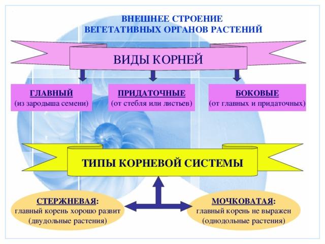 ВНЕШНЕЕ СТРОЕНИЕ ВЕГЕТАТИВНЫХ ОРГАНОВ РАСТЕНИЙ ВИДЫ КОРНЕЙ ГЛАВНЫЙ ПРИДАТОЧНЫЕ БОКОВЫЕ (от стебля или листьев) (от главных и придаточных) (из зародыша семени) ТИПЫ КОРНЕВОЙ СИСТЕМЫ СТЕРЖНЕВАЯ : МОЧКОВАТАЯ : главный корень не выражен главный корень хорошо развит (однодольные растения) (двудольные растения)