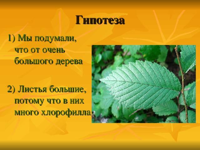 Гипотеза 1) Мы подумали, что от очень большого дерева 2) Листья большие, потому что в них много хлорофилла