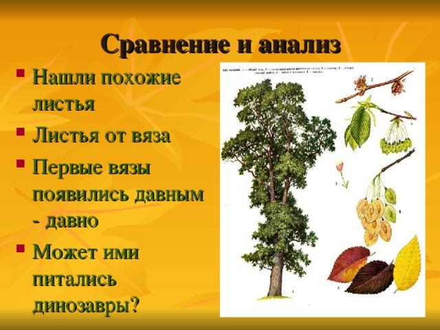Сравнение и анализ Нашли похожие листья Листья от вяза Первые вязы появились давным - давно Может ими питались динозавры?