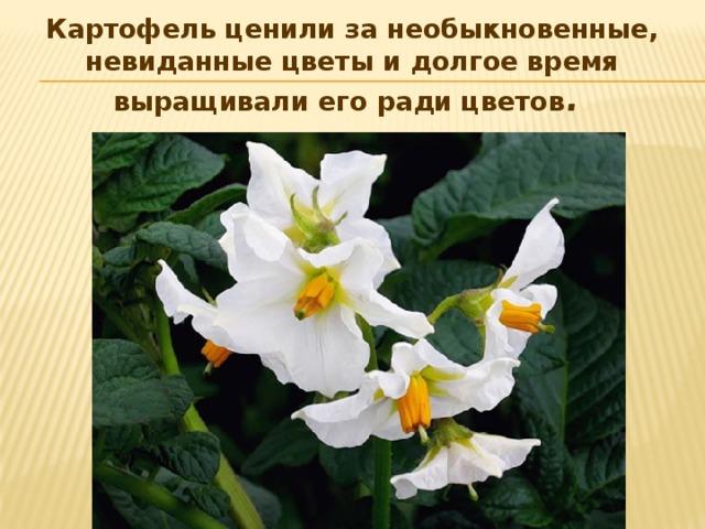 Картофель ценили за необыкновенные, невиданные цветы и долгое время выращивали его ради цветов .