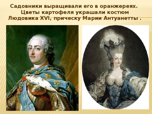 Садовники выращивали его в оранжереях. Цветы картофеля украшали костюм Людовика XVI, прическу Марии Антуанетты .