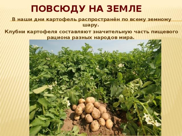 Повсюду на Земле В наши дни картофель распространён по всему земному шару. Клубни картофеля составляют значительную часть пищевого рациона разных народов мира.