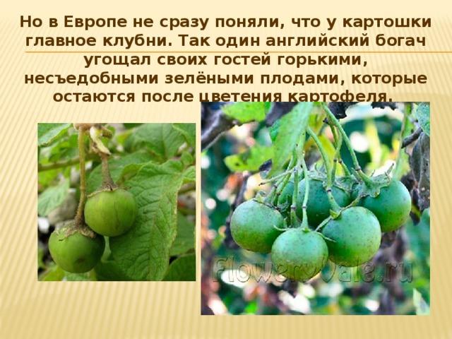 Но в Европе не сразу поняли, что у картошки главное клубни. Так один английский богач угощал своих гостей горькими, несъедобными зелёными плодами, которые остаются после цветения картофеля.