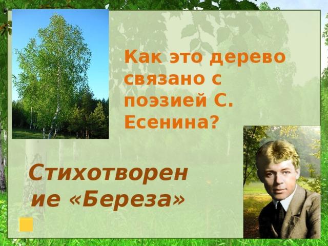 Как это дерево связано с поэзией С. Есенина? Стихотворение «Береза»
