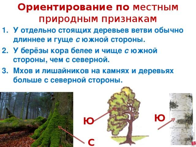 Ориентирование по  местным природным признакам У отдельно стоящих деревьев ветви обычно длиннее и гуще с южной стороны. У берёзы кора белее и чище с южной стороны, чем с северной. Мхов и лишайников на камнях и деревьях больше с северной стороны.  Ю Ю С