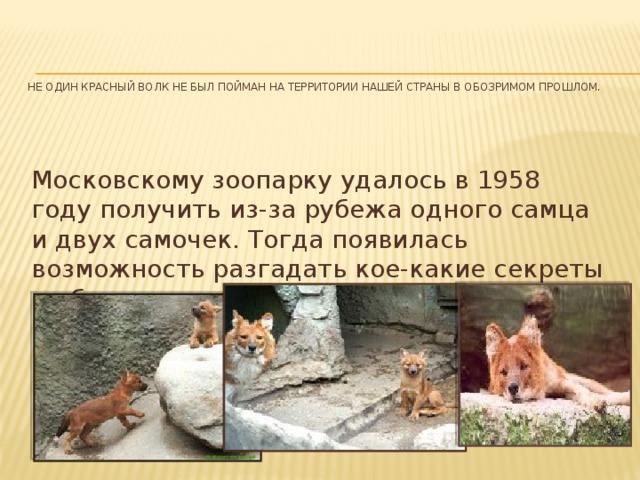 Не один красный волк не был пойман на территории нашей страны в обозримом прошлом.   Московскому зоопарку удалось в 1958 году получить из-за рубежа одного самца и двух самочек. Тогда появилась возможность разгадать кое-какие секреты их биологии.