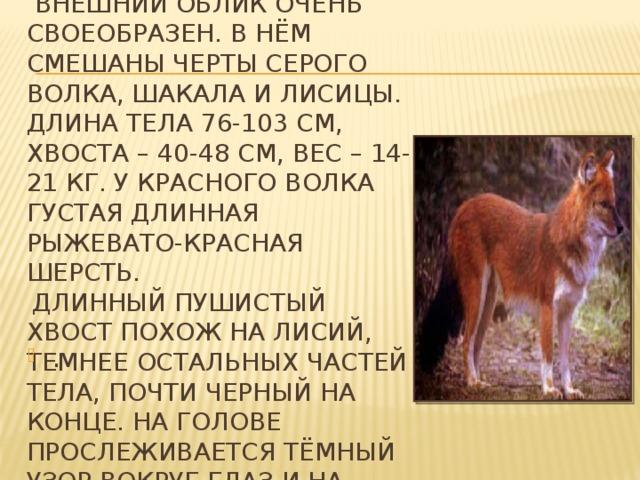 Внешний облик очень  своеобразен. в нём смешаны черты серого волка, шакала и лисицы. Длина тела 76-103 см, хвоста – 40-48 см, вес – 14-21 кг. У красного волка густая длинная рыжевато-красная шерсть.   Длинный пушистый хвост похож на лисий, темнее остальных частей тела, почти черный на конце. На голове прослеживается тёмный узор вокруг глаз и на носу.