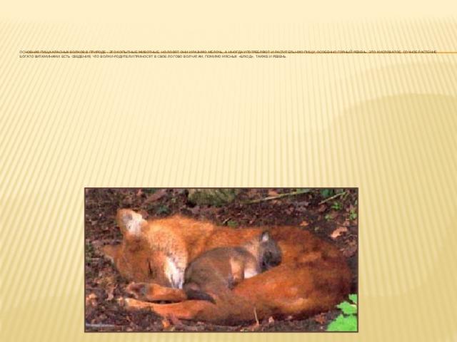 Основная пища красных волков в природе - это копытные животные, но ловят они и разную мелочь, а иногда употребляют и растительную пищу, особенно горный ревень. Это кисловатое, сочное растение богато витаминами. Есть сведения, что волки-родители приносят в свое логово волчатам, помимо мясных «блюд», также и ревень.