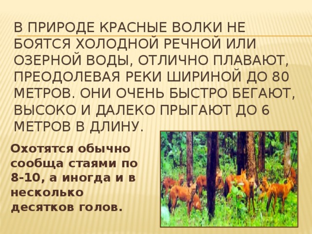 в природе красные волки не боятся холодной речной или озерной воды, отлично плавают, преодолевая реки шириной до 80 метров. Они очень быстро бегают, высоко и далеко прыгают до 6 метров в длину. Охотятся обычно сообща стаями по 8-10, а иногда и в несколько десятков голов.