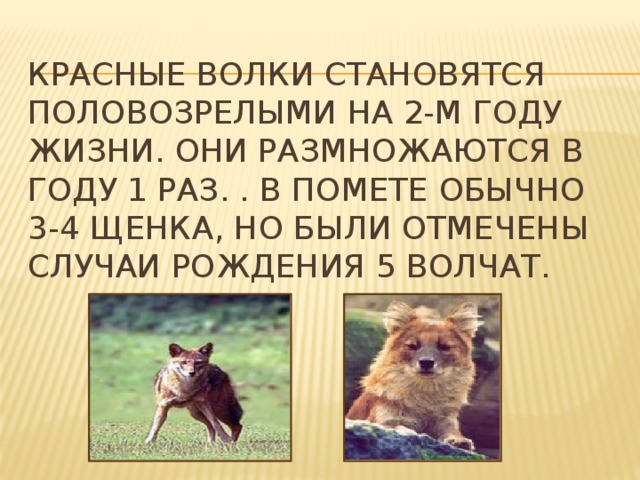 Красные волки становятся половозрелыми на 2-м году жизни. Они размножаются в году 1 раз. . В помете обычно 3-4 щенка, но были отмечены случаи рождения 5 волчат.