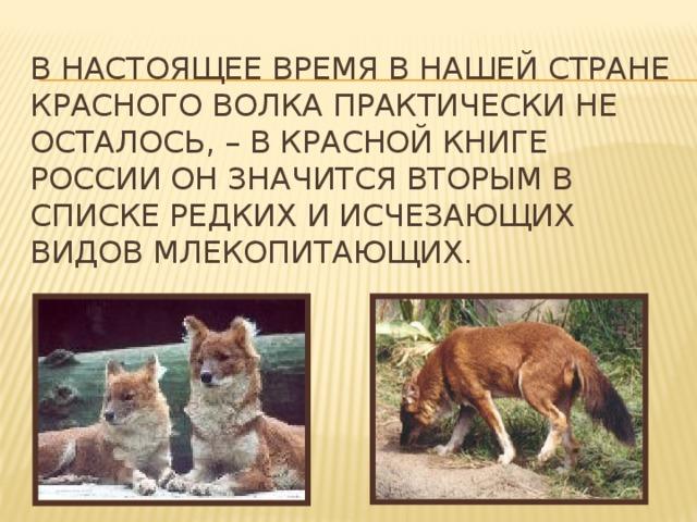 В настоящее время в нашей стране красного волка практически не осталось, – в Красной книге России он значится вторым в списке редких и исчезающих видов млекопитающих .