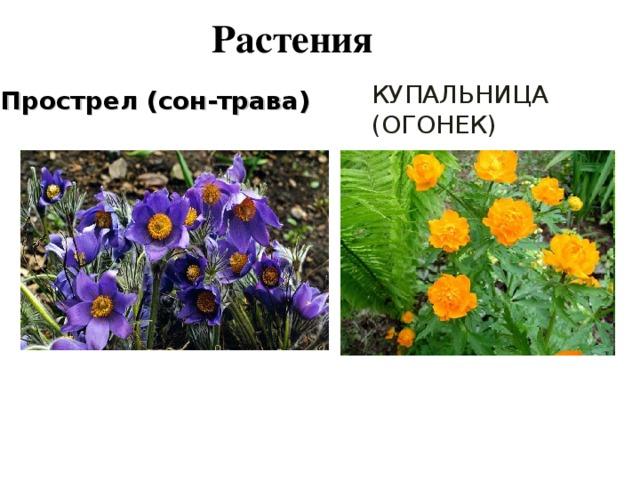 Растения Прострел (сон-трава) КУПАЛЬНИЦА (ОГОНЕК)