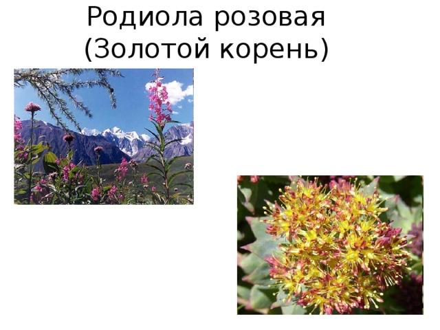 Родиола розовая  (Золотой корень)