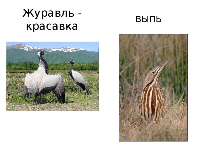 Журавль - красавка ВЫПЬ