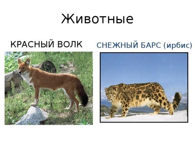 Животные КРАСНЫЙ ВОЛК СНЕЖНЫЙ БАРС (ирбис)