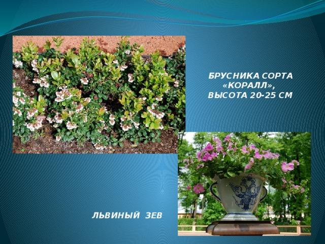 БРУСНИКА СОРТА «КОРАЛЛ», ВЫСОТА 20-25 СМ ЛЬВИНЫЙ ЗЕВ