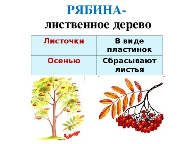 РЯБИНА- лиственное дерево Листочки  В виде пластинок Осенью Сбрасывают листья
