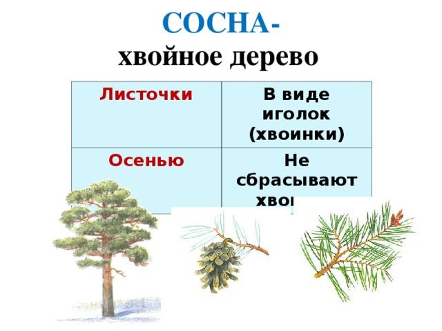 СОСНА- хвойное дерево Листочки  В виде иголок (хвоинки) Осенью Не сбрасывают хвоинки