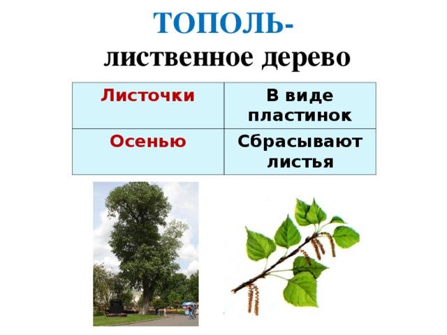ТОПОЛЬ- лиственное дерево Листочки  В виде пластинок Осенью Сбрасывают листья