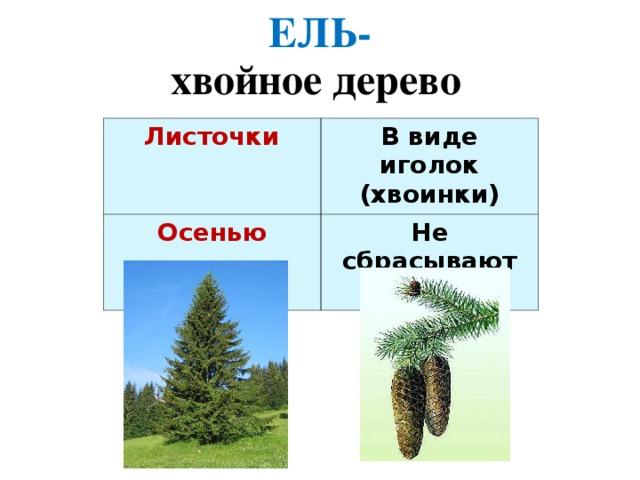 ЕЛЬ- хвойное дерево Листочки  В виде иголок (хвоинки) Осенью Не сбрасывают хвоинки