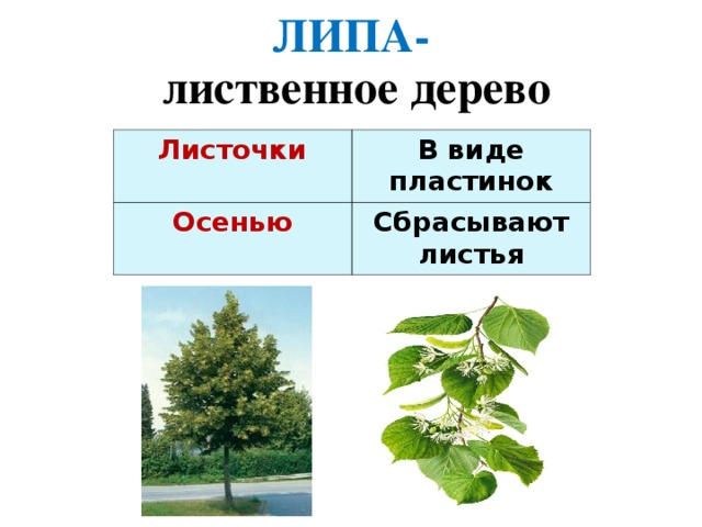 ЛИПА- лиственное дерево Листочки  В виде пластинок Осенью Сбрасывают листья